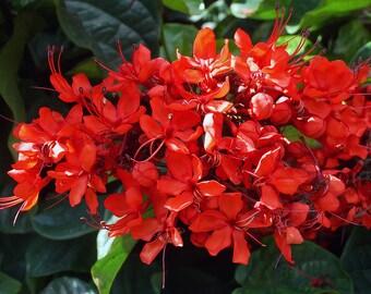 """Flowering / Flaming Glorybower 5"""" Pot RT54-D"""