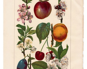 Antique print of Fruits and Their Blossoms color lithograph print from 1904 encyclopedia