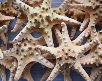 "12 XX-Large Knobby Starfish (7""+) Beach Wedding Decor Crafts Coastal Nautical"