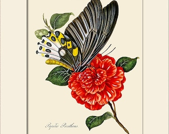 Butterfly Art Print with Mat, Note Card, Papilio Panthous, Plate 18, Donovan, Natural History, Wall Art, Wall Decor, Butterfly Print
