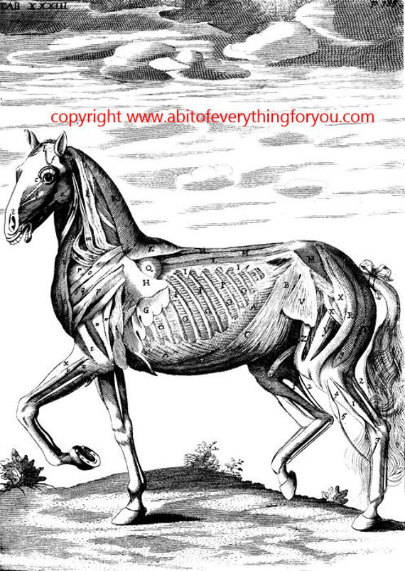 horse muscle animal anatomy vintage printable art illustration clipart png download digital image graphics science black and white artwork
