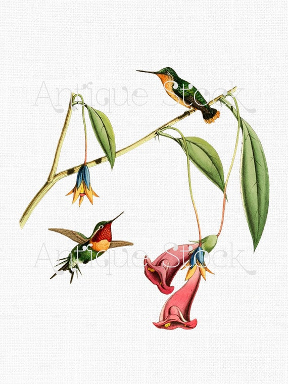 Hummingbird Digital Download