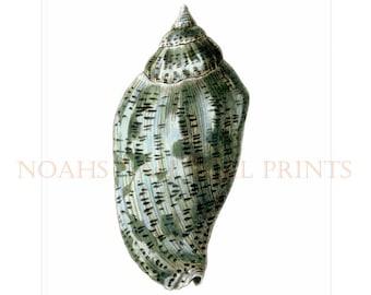 Sea Green Shell Print From Original Watercolour. Sea Green Seashell Wall Decor Beach Theme Home and Living Decor. Bathroom Seashell Art