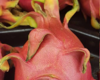 5 live Red Flesh Dragon Fruit cuttings - 6- 8 inches Free shipping