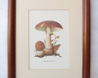 Vintage mushroom poster, Botanical Art, Amanita Rubescens frame wood glass, botanical, vintage