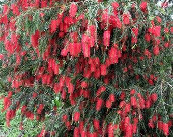 Weeping Bottlebrush aka Callistemon Viminalis Live Plant Fit 5 Gallon Pot - MOR