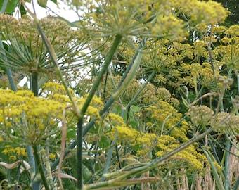 Bronze Fennel Seeds // Foeniculum vulgare