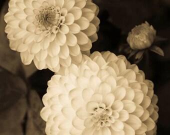 Flower Photography - An Original Signed 8 x 10 sepia toned black and white photograph Triple Dahlia