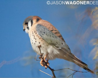 American Kestrel - falcon - tree - bird - photography - photo - Digital Photo Download - Print at Home - Instant Download - Image File