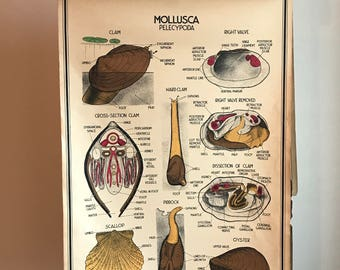 Vintage Large Original Clam Scallop and Oyster School Chart or Poster 3ft x 2ft