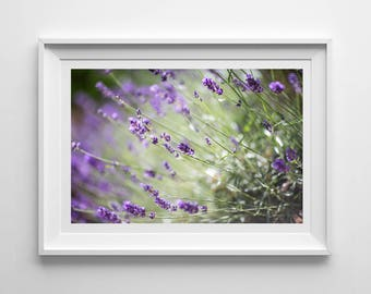 Nature Photography, Lavender Wall Art, Original Print, Flowers, Landscape, Botanical, Pretty Decor