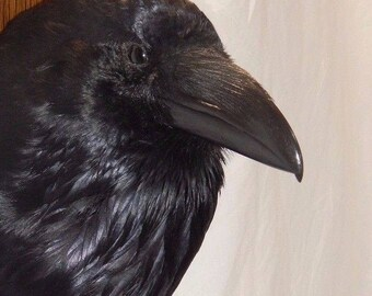 Taxidermy Raven , READY NOW! on shield with replica egg.Stunning example. Corvus corax, Collector!