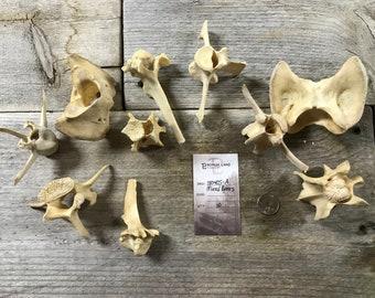 10 Assorted Deer Bones - Vertebrae and More - Real Bones - Lot No. 180405-A