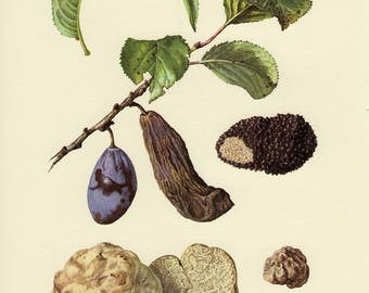Vintage lithograph of truffles and plant pathogens, summer truffle from 1964
