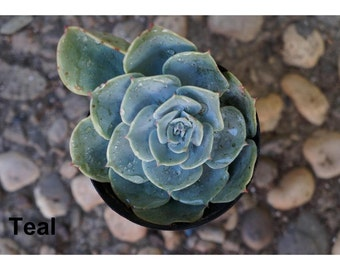 Echeveria Succulent Plant