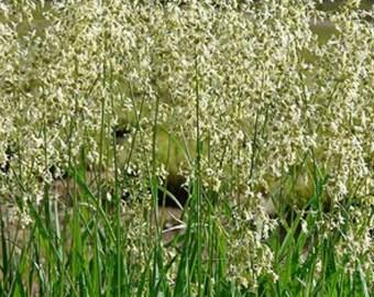 12 Sweetgrass Live Plants (Hierochloe odorata) Vanilla Grass, Holy Grass ~ not seed