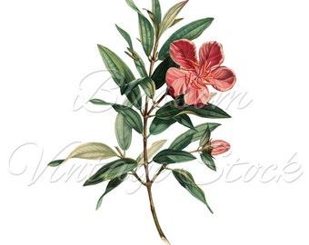 Pink Flower Botanical Print, Clip Art, PNG Digital Image, Vintage Image for print, digital artwork  INSTANT DOWNLOAD- 1537