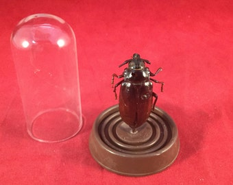 Damaged!  Reduced!  Entomology/taxidermy Beetle Pachyteria Equestris glass dome display insect bug