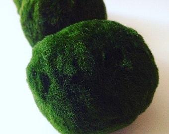 5X Large Marimo Moss Balls Live Plants