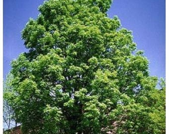 10 Green Ash Tree Seeds, Fraxinus pennsylvanica