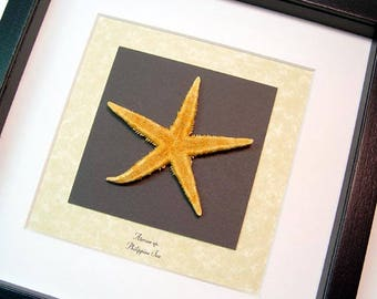 Real Framed Museum Collection Asterias Sp Orange Common Starfish S1519