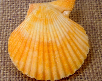 "Beautiful Pecten Nobilis Whole Shell 1.75-2.5"" (RK5B2a-02)"