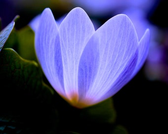 Fine Art Photography, Macro Photography, Nature Art, Wall Art, 5 x 5 Print, Periwinkle Blue, Home Decor, Garden, Bloodroot Plant
