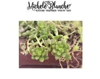 Succulent Nature Photography, Trailiing sedum Wall art, Stonecrop Sedum Photo, Garden Nature Print, Sedum Art, Organic Photo Art Prints