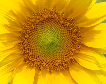 Mirror of Sunshine, 3Butterflies Photography, flower, potted plant, sunflower, garden, summer, yellow.