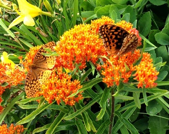 Orange Milkweed Seeds, Asclepias tuberosa Butterfly Weed, Native Plant Seeds, Monarch Butterfly Host Plant, Native Milkweed Seeds