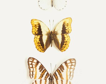 Butterfly Photograph, Insect Photography, Neutral Home, Wall Decor, Three Butterflies, White Yellow Brown, Nature Art Print, Artwork Walls