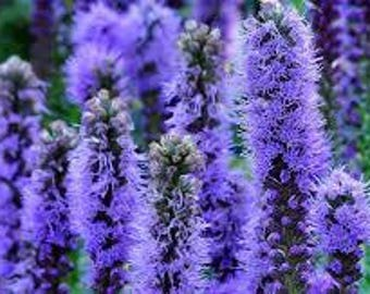 Gayfeather Plant, Blazing Star, Liatris, Herbaceous Perennial, Purple Flower, Bed or Pot, Organically Grown