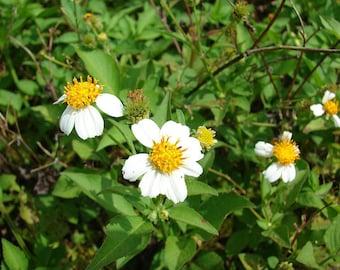 Bidens Pilosa Alba,MEDICINAL butterflies garden Spanish Needles 25 Rooted Plants