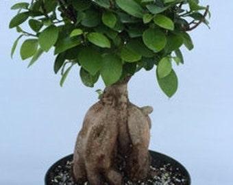 Bonsai Ficus Ginseng 10 inch