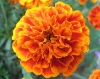 Queen Sophia French Marigolds Cut Flower Seeds Cottage Garden Seeds Annuals Heirloom Flowers Companion Plants