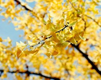 Yellow wall art, ginkgo biloba tree branch art, autumn leaves photograph, blue yellow picture 12x12, 10x13 nature art print fall wall decor