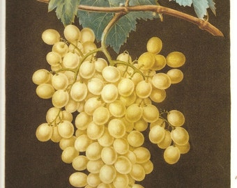 FRUIT Print GRAPES 2002 Doublesided Art Original Book Plate 125 126 Beautiful Yellow Grapes on Grapevine Large Leaves and Antique Writing