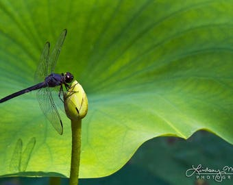 "Nature Photo Art | ""Dragonfly Leaf"" 