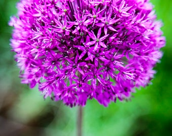 Purple Allium close up macro colour photographic print