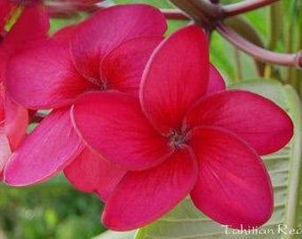 Ruby red plumeria. Rare plumeria 8-11 inch branch.