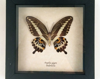Real butterfly framed - Papilio gigon