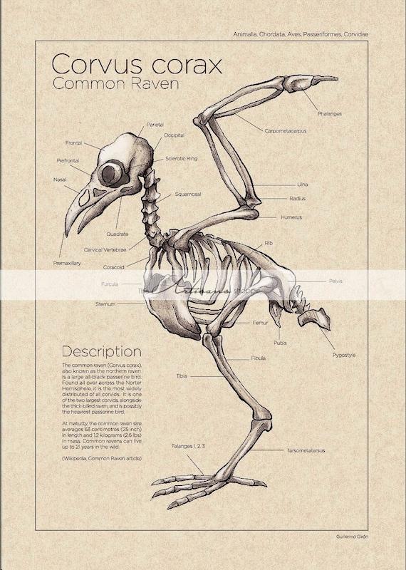 Printable Art Instant Download Raven Crow Skeleton Diagram