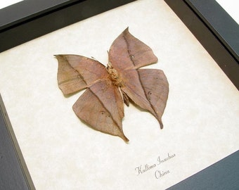 Real Framed Dead Leaf Mimic Butterfly Conservation 607v