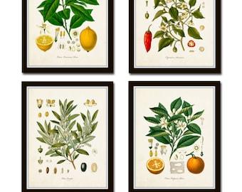 Vintage Fruit Print Set No. 20, Kohler Fruit Prints, Botanical Prints, Vintage Botanical, Lemon Print, Olive, Art, Kitchen Art, Illustration