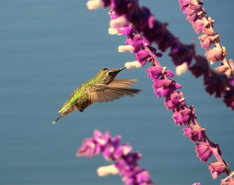 Hummingbird in Flight 8x10 nature photo print