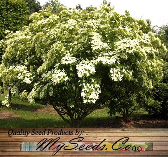 Dogwood Tree Kousa: 10 Or 250 X Japanese Kousa Dogwood Tree Seeds Chinese Korean