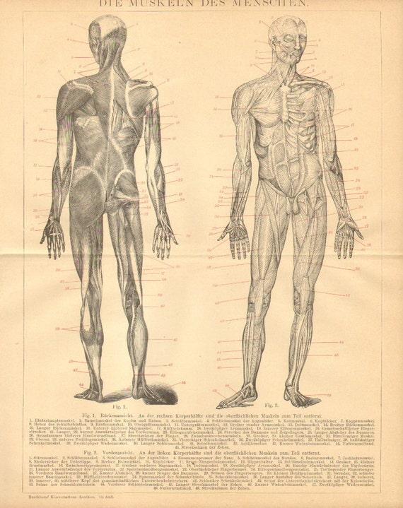 1894 los músculos del cuerpo humano vista Anterior y
