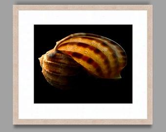 SEASHELL #15 - Framed Art Photography, Home Decor, Wall Art, Nature, beach, seashells, ocean