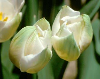 White Tulips on Green