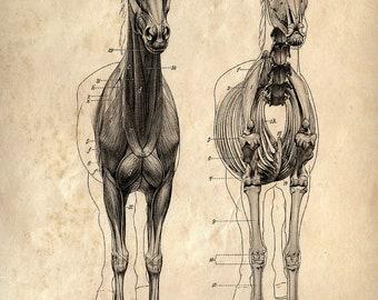 Vintage Science Animal Anatomy Study Poster. Horse Skeleton Biology Educational Diagram Chart - CP118